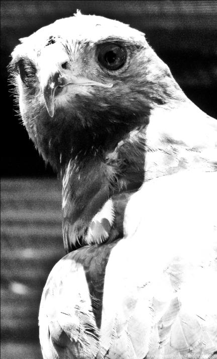 BW eagle (2)