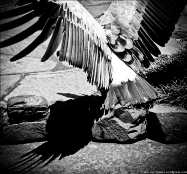 BW griffin vulture