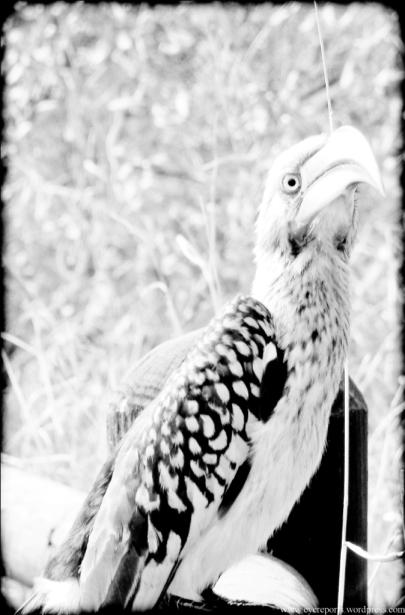 BW hornbill