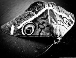 BW moth