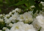 Spiraea cantoniensis 'Lanceata' (May Bush)