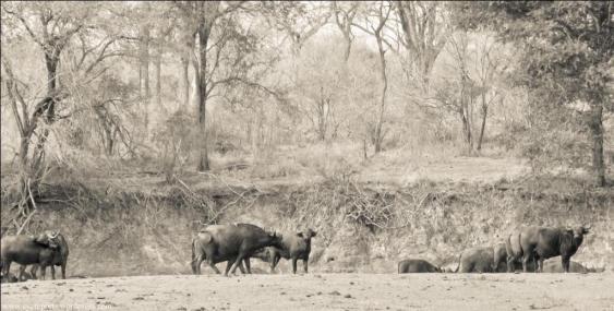 buffalo at dry water hole