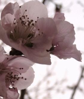 peach blossom pale