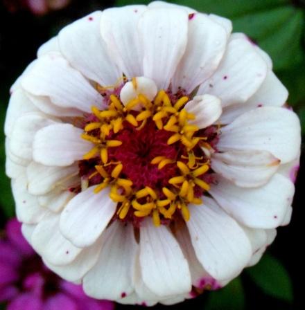 white zinia