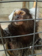 male marmoset