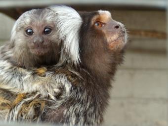 curious baby marmoset