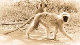 sepia vervet monkeys