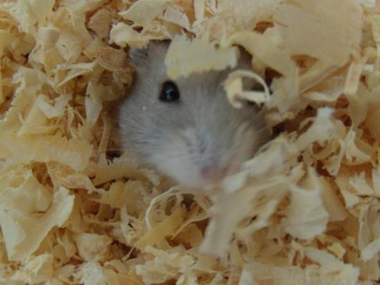 Jalapeno the dwarf hamster