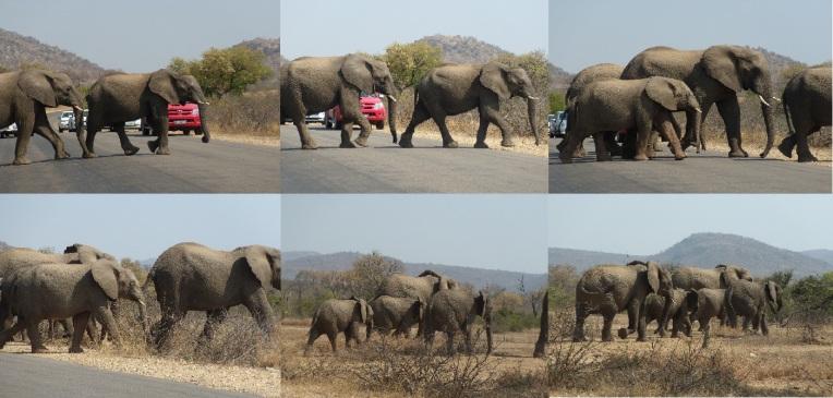 Elephant crossing, Malelane