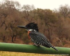 Great Kingfisher