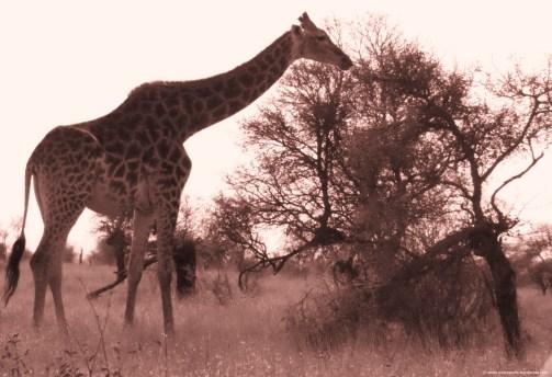 sepia giraffe