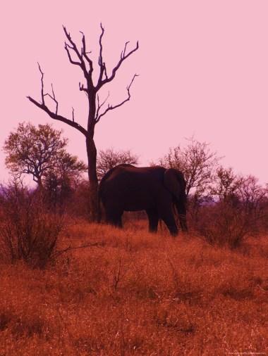 bull elephant, Kruger national park, August 2010