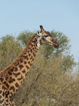 old male giraffe