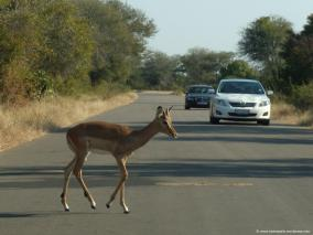 impala crossing road