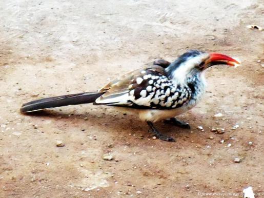 common hornbill